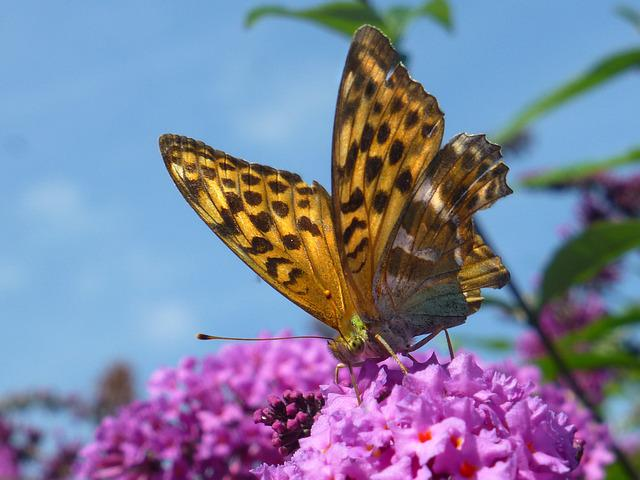 Butterfly, Mother Of Pearl Butterfly, Summer Lilac