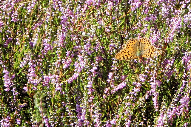 Heide, Butterfly, Landscape, Nature, Heather