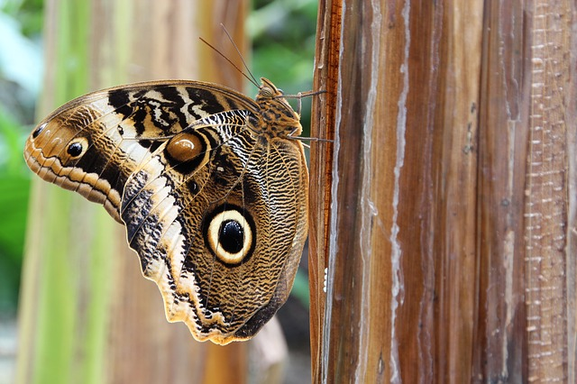 Owl Butterfly, Butterfly, Insect, Nature