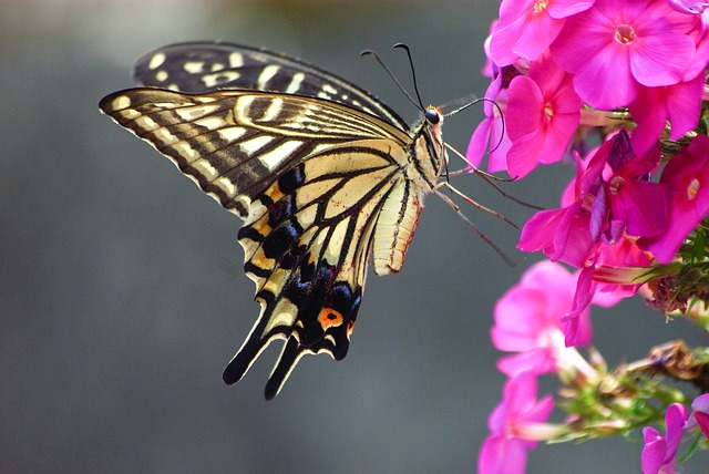 Nature, Insects, Swallowtail, Butterfly, Summer