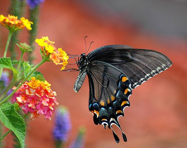 Black Swallowtail, Butterfly, Swallowtail, Papilio