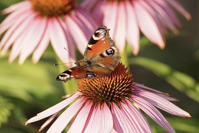Peacock Butterfly, Sun Hat, Butterfly, Echinacea