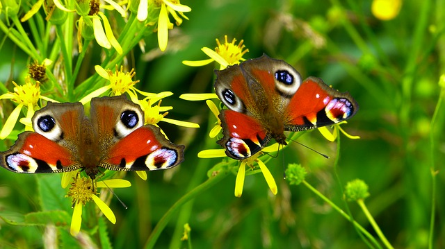 Inachis Io, Butterfly, Butterfly Peacock, Nature