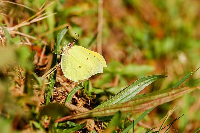 Gonepteryx Rhamni, Whites, Pieridae, Butterfly