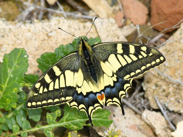 Machaon, Butterfly Queen, Butterfly, Beauty