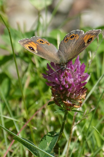 Butterfly, Brown Eye, Lasiommata Maera, Red Clover