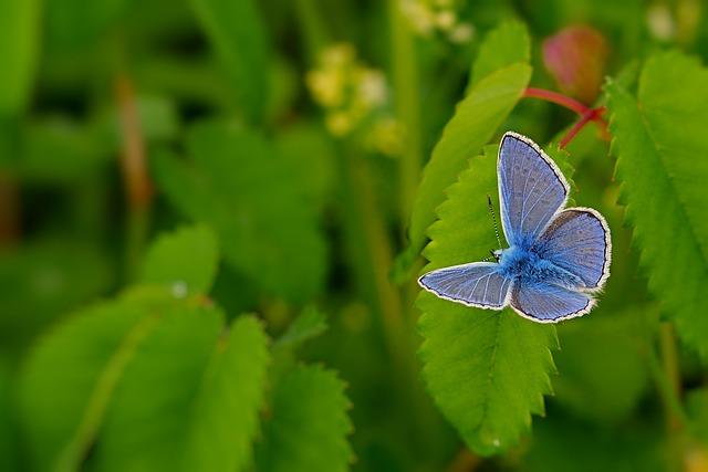 Butterfly, Common Blue, Restharrow's Blue, Meadow, Wing