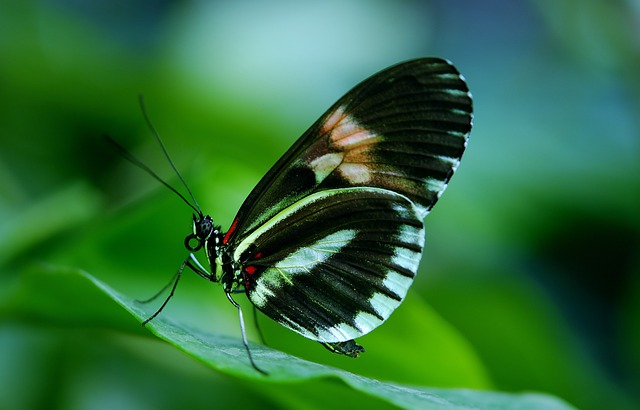 Papilio, Rumanzovia, Butterfly, Animal, Black, Green