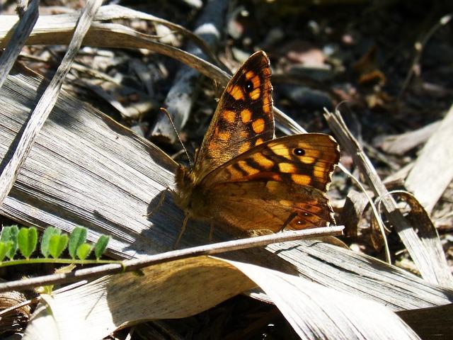 Margenera, Saltacercas, Butterfly, Backlight