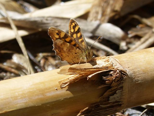 Lasiommata Megera, Butterfly Saltacercas, Margenera