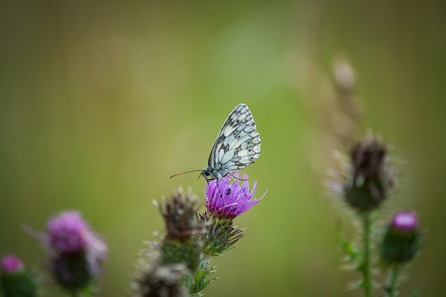 Butterfly, Macro, Small Chess Board, Close, Insect