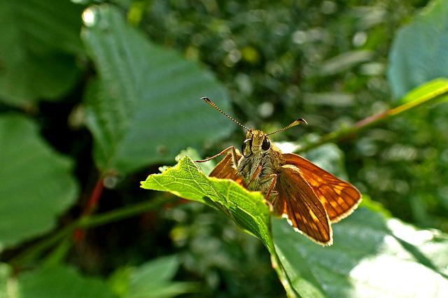 Nature, Butterfly, Insect, Spring, Large Skipper