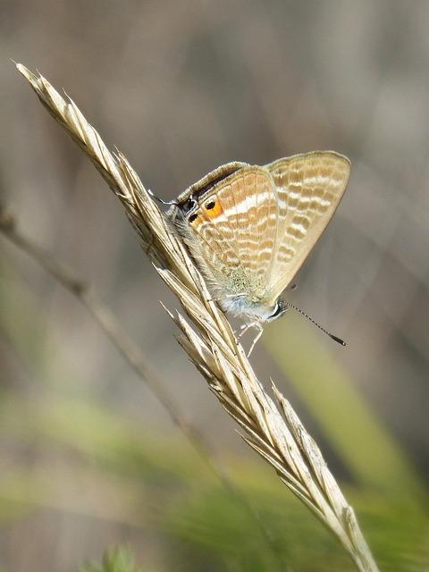 Butterfly, Teenindusega Boeticus