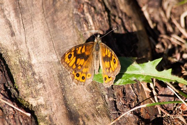 Wall Fox, Lasiommata Megera, Butterfly, Orange, Ocher