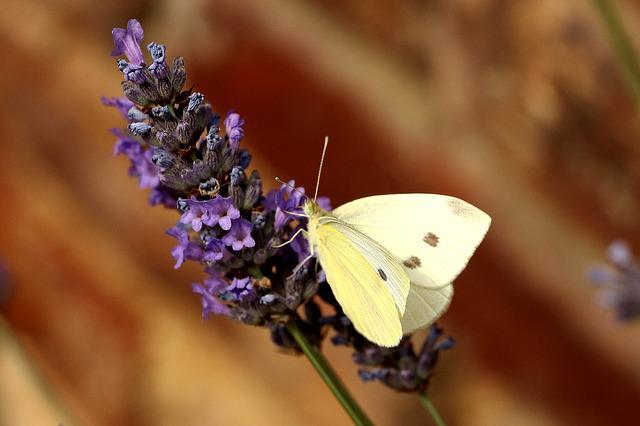 Butterfly, White, Insect