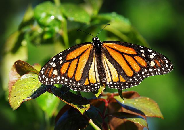 Butterfly, Insect, Nature, Outdoors, Wing, Invertebrate