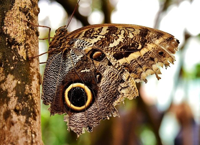 Owl Butterfly, Butterfly, Insect, Winged Insect