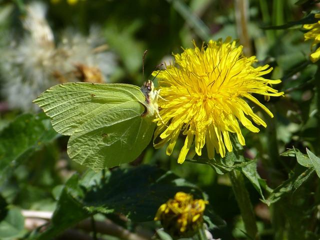 Gonepteryx Rhamni, Butterfly, Yellow, Butterflies