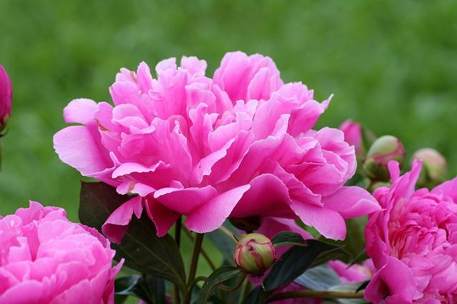 Peony, Pink, Perfume, Button, Flower, Spring, Garden