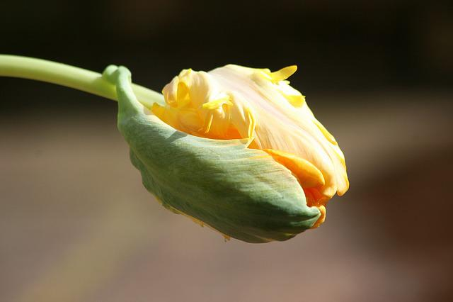 Tulip, Button, Spring, Sprout, Yellow, Flower