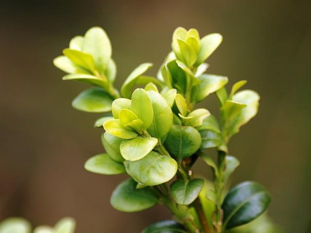 Boxwood, Green, Buxus, Leaves, Garden Plant, Bush