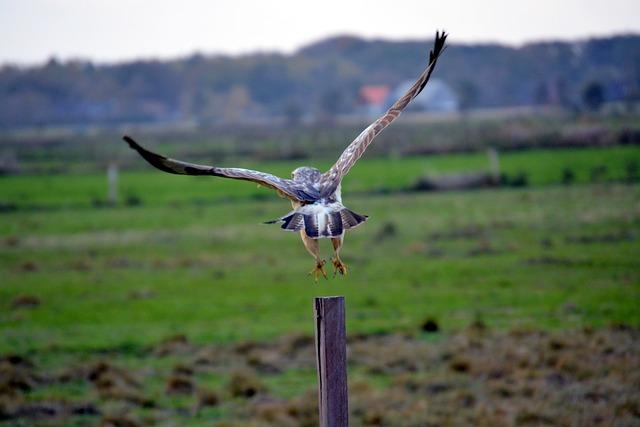 Buzzard, Bird, Common Buzzard, Bird Of Prey, Animal