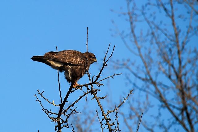 Buzzard, Bird, Hawk, Bird Of Prey, Raptor