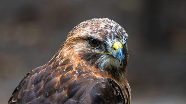 Buzzard, Predator, Bird, Wild, Sitting, Beak