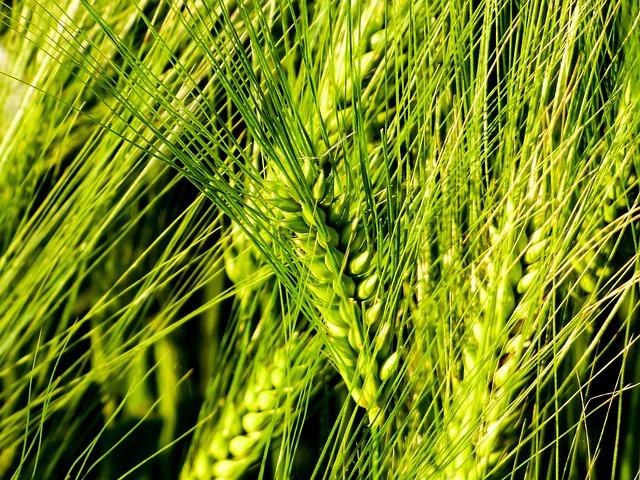 Wheat, By Chaitanya K, Grain, Field, Wheat Ear