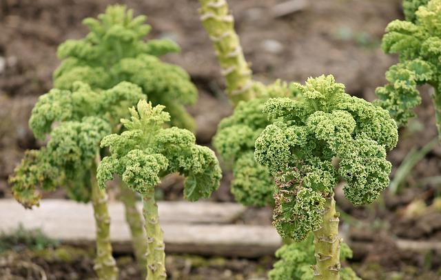 Kale, Kohl, Cabbage Plants, Vegetables, Food, Old