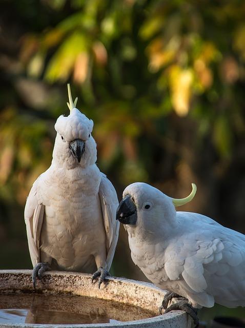 Sulphur Crested Cockatoo, Parrots, Cacatua Galerita
