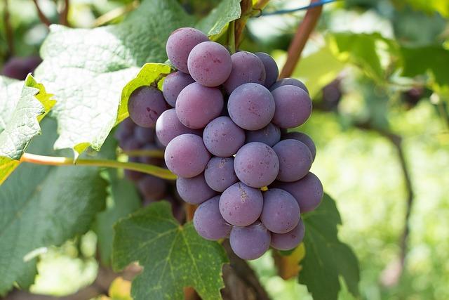 Fruit, Vine, Nature, Wine, Uva, Cacho, Summer, Harvest