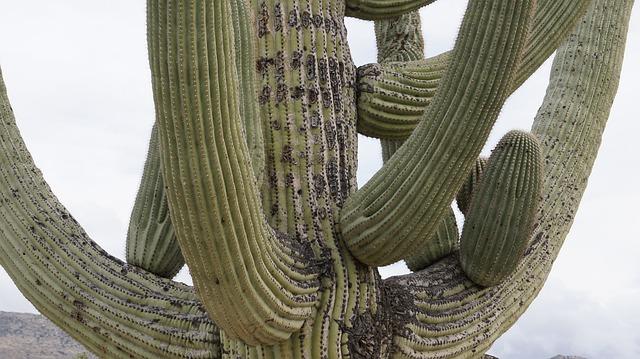 Cactus, Arizona, Tucson, Cactus Garden, Nature