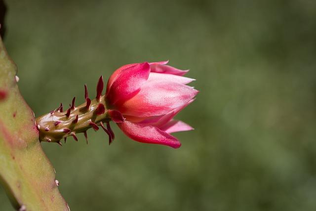 Blossom, Bloom, Cactus Blossom, Pink, Pink Blossom