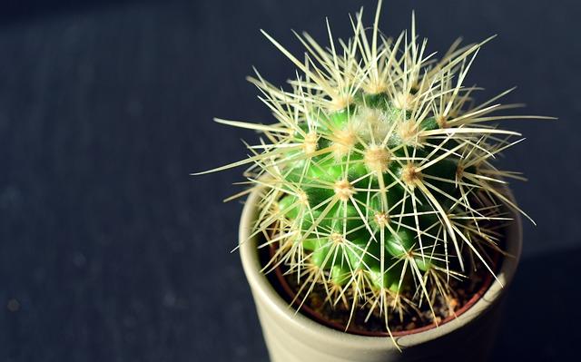 Cactus, Spur, Plant, Thorns, Prickly, Close, Flowerpot