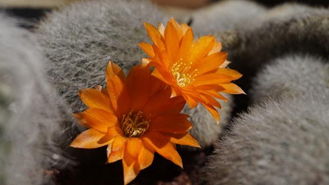 Cactus, Flower, Flowering Cactus, Cactus Flower