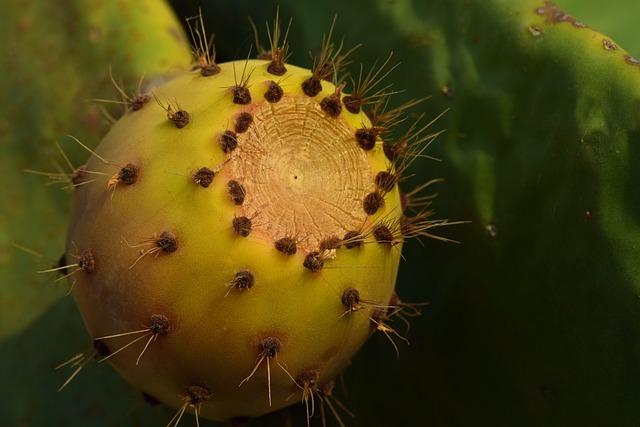 Cactus, Prickly Pear, Fruit, Sting, Sweet, Ripe, Edible