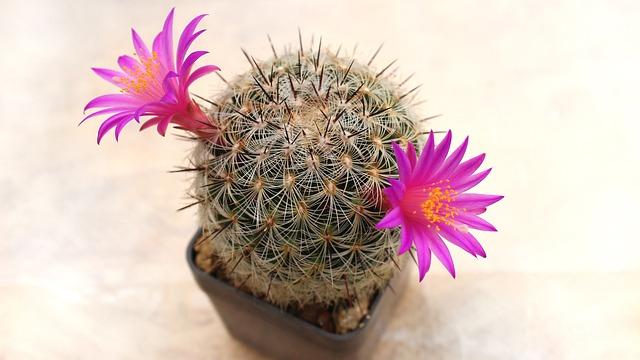 Cactus, Flower, Plant, Sukulent, Mammillaria Dodsonii