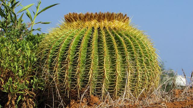 Cactus, Plant, Nature, Sharp, Thorns, Green