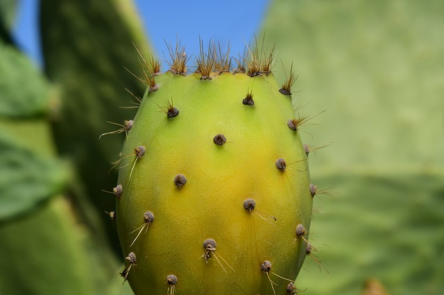 Cactus, Prickly Pear, Cactus Greenhouse, Prickly