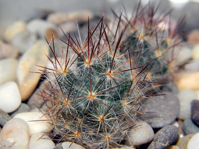 Mammillaria, Cactus, Scratchy, Green, Needles, Plants