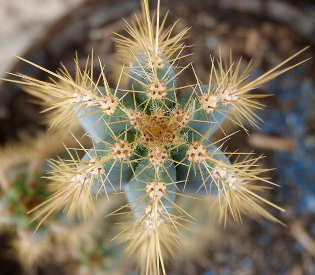 Cactus, Thorns, Skewers, Overhead View