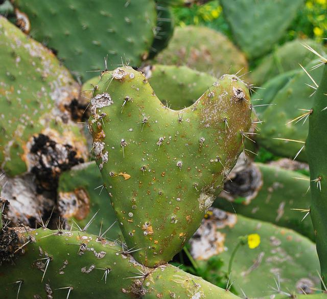 Cactus, Spine, Prickly, Back, Succulent, Heart