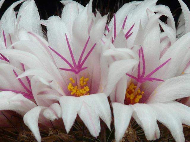 Cactus, White, Flowers, Bloom, Mammillaria Albicans