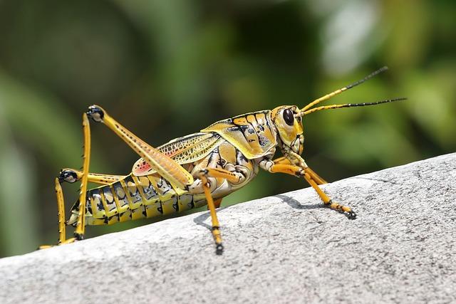 Caelifera, Grasshopper, Romalea Microptera, Insect