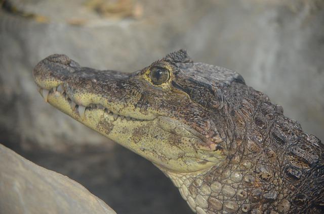 Crocodile, Caiman, Young
