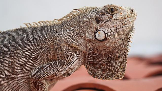 Chameleon, Reptile, Animal, Calango, Lizard
