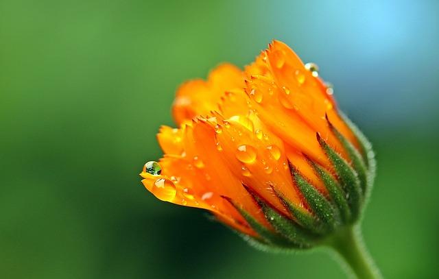 Marigold, Calendula, Orange, Blossom, Bloom