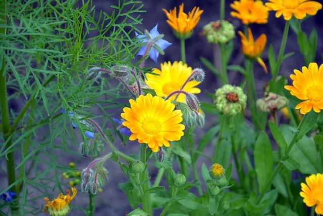 Calendula, Flowers, Summer, Calendula Officinalis