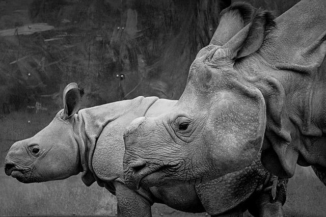 Rhino, Animal, Mammal, Baby Rhinoceros, Calf